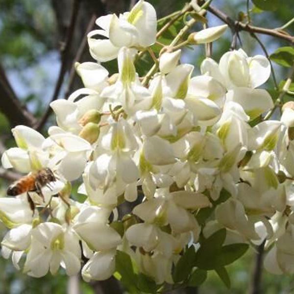 绿肥--白花灰叶豆